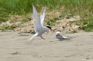 Common Tern Juvenile Adult Good Harbor Beach Gloucester copyright Kim Smith - 20 of 21