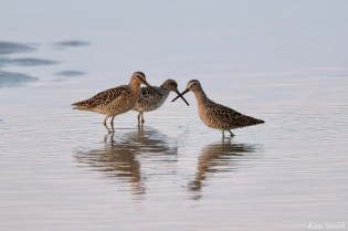Dowitcher Good Harbor Beach Gloucester copyright Kim Smith - 2 of 28