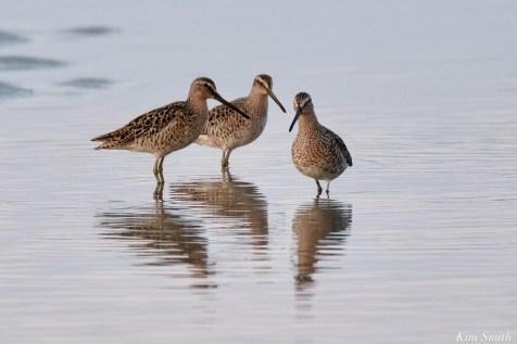 Dowitcher Good Harbor Beach Gloucester copyright Kim Smith - 3 of 28