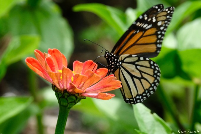 Monarch Butterfly Zinnia elegans copyright Kim Smith