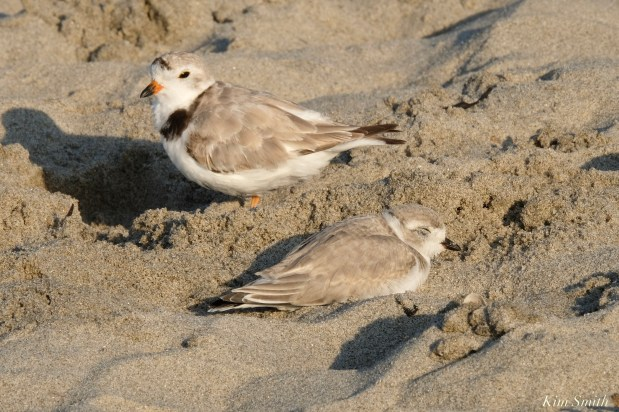 Piping Plover Juvenile 36 days old Marshmallow Good Harbor Beach copyright Kim Smith