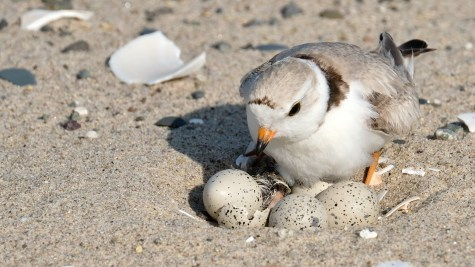 Piping Plovers 2020 copyright Kim Smith - 18 of 106