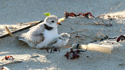 Piping Plovers 2020 copyright Kim Smith - 39 of 106