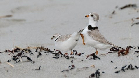 Piping Plovers 2020 copyright Kim Smith - 7 of 106