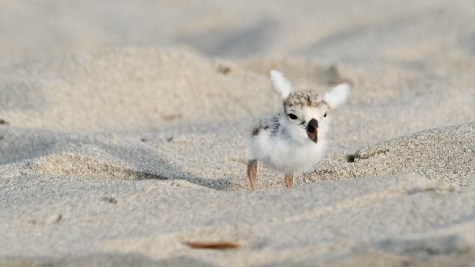 Piping Plovers 2020 copyright Kim Smith - 77 of 106