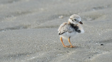 Piping Plovers 2020 copyright Kim Smith - 91 of 106