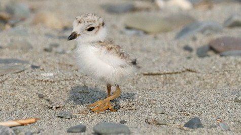 Piping Plovers 2020 copyright Kim Smith - 92 of 106
