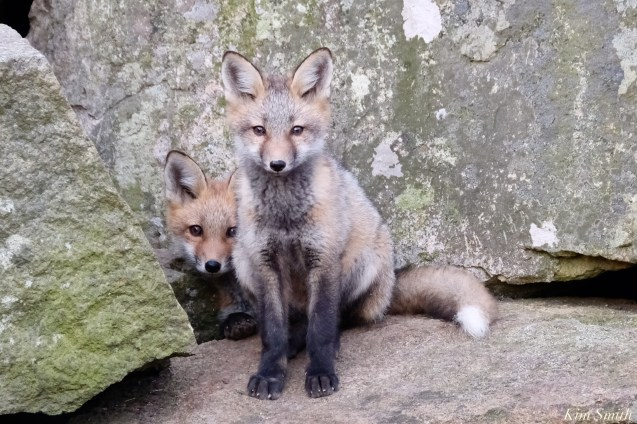 Red Fox Kits Gloucester MA copyright Kim Smith - 10 of 19