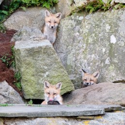Red Fox Kits Gloucester MA copyright Kim Smith - 17 of 19