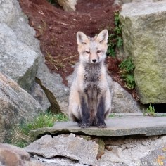 Red Fox Kits Gloucester MA copyright Kim Smith - 5 of 19