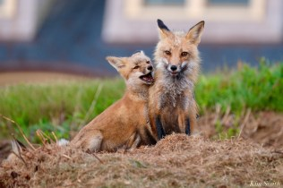 Red Fox Kits Vulpes vulpes Kim Smith - 20 of 24
