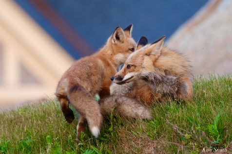 Red Fox Kits Vulpes vulpes Kim Smith - 24 of 24