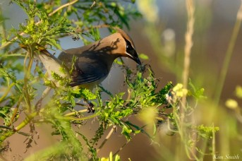 Cedar Waxwing Eastern Point copyright Kim Smith - 6 of 13
