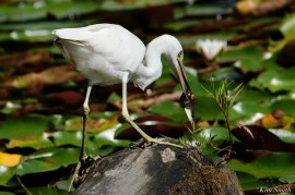 Little Blue Heron fishing first hatch year copyright Kim Smith