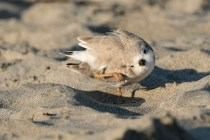 Piping Plover Marshmallow 38 days old Good Harbor Beach copyright Kim Smith