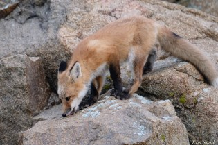 Red Fox Kits Vulpes vulpes Gloucester Kim Smith - 7 of 13