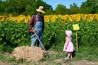 Charlotte School Street Sunflowers Ipswich MAssachusetts copyright Kim Smith - 42 of 42