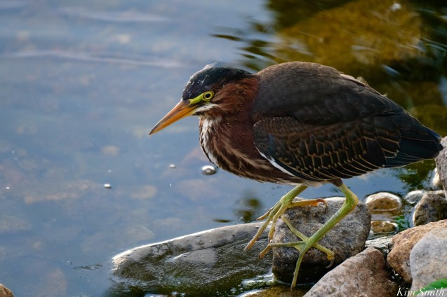 Little Green Heron Gloucester MA copyright Kim Smith - 2 of 9