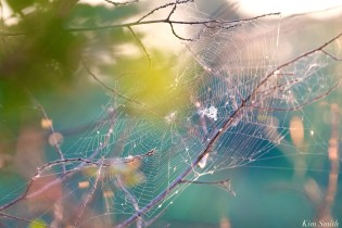 Orb Spider Webs Eastern Point Gloucester MA copyright Kim Smith - 12 of 13