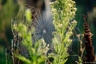 Orb Spider Webs Eastern Point Gloucester MA copyright Kim Smith - 9 of 13