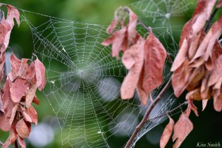 Orb Spider Webs Eastern Point Gloucester MA copyright Kim Smith