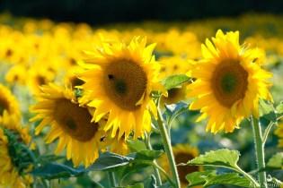 School Street Sunflowers Ipswich MAssachusetts copyright Kim Smith - 24 of 42