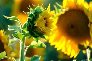 School Street Sunflowers Ipswich MAssachusetts copyright Kim Smith - 35 of 42