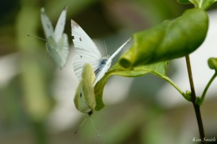 Small White Butterflies Mating Cabbage Whites copyright Kim Smith 4
