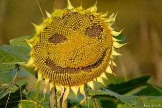 Smiley Face Sunflowers copyright Kim Smith - 1 of 1 (2)