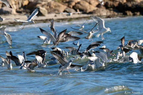 Cormorant Gull feeding frenzy Massachusetts copyright Kim Smith - 51 of 56