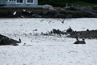 Cormorant, Heron, Gull feeding frenzy Massachusetts copyright Kim Smith - 26 of 56