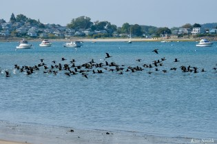 Cormorant, Heron, Gull feeding frenzy Massachusetts copyright Kim Smith - 48