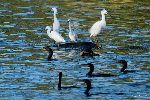 Cormorant Snowy Egret feeding frenzy Massachusetts copyright Kim Smith - 33 of 56