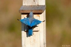 Eastern Bluebird Male copyright Kim Smith - 16 of 24