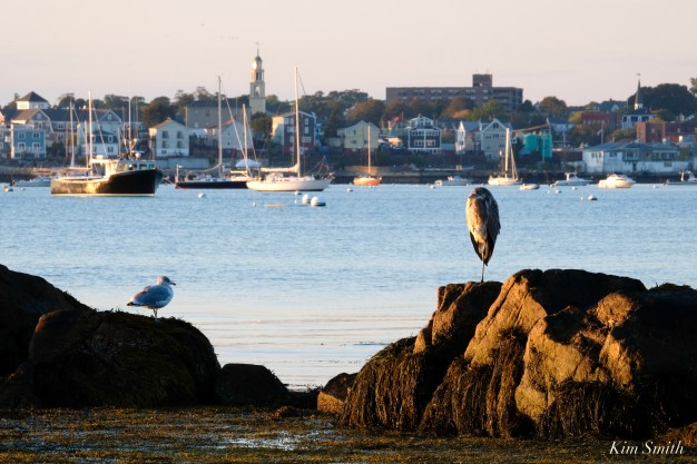 Great Blue Heron Gloucester Harbor Massachusetts copyright Kim Smith