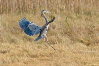 Great Blue Heron Gloucester copyright Kim Smith - 1 of 1