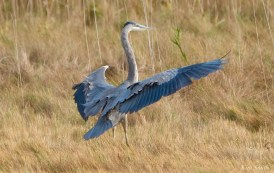 Great Blue Heron Gloucester copyright Kim Smith - 2 of 5