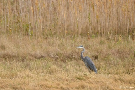 Great Blue Heron Gloucester copyright Kim Smith - 5 of 5