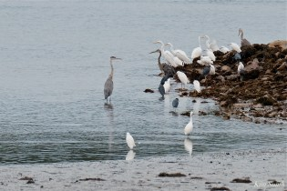 Herons waiting for Cormorant feeding frenzy Massachusetts copyright Kim Smith - 11 of 56