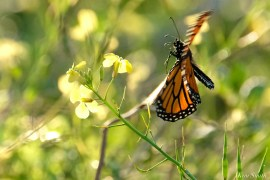 Monarch Butterfly Migraton October 2020 copyright Kim Smith - 1 of 1