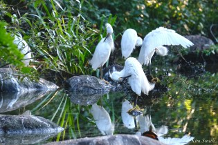 Snowy Egret Massachusetts copyright Kim Smith - 2 of 56