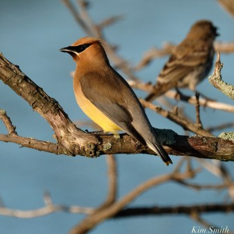 Cedar Waxwing Essex County Massachusetts copyright Kim Smith - 21 of 37