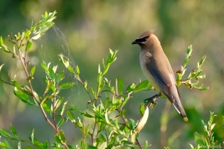 Cedar Waxwing Essex County Massachusetts copyright Kim Smith - 4 of 37