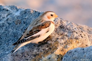 Snow Buntings Massachusetts copyright Kim Smith - 18 of 27