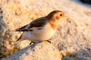 Snow Buntings Massachusetts copyright Kim Smith - 19 of 27