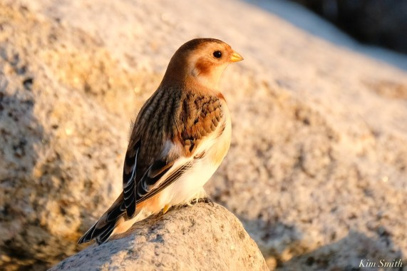 Snow Buntings Massachusetts copyright Kim Smith - 20 of 27