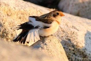 Snow Buntings Massachusetts copyright Kim Smith - 21 of 27
