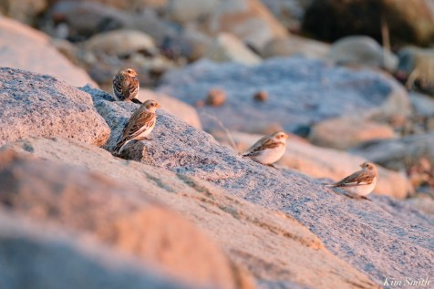 Snow Buntings Massachusetts copyright Kim Smith - 26 of 27