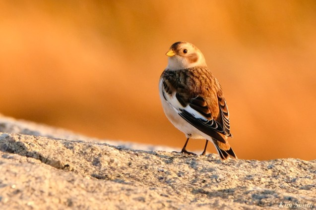 Snow Buntings Massachusetts copyright Kim Smith - 27 of 27