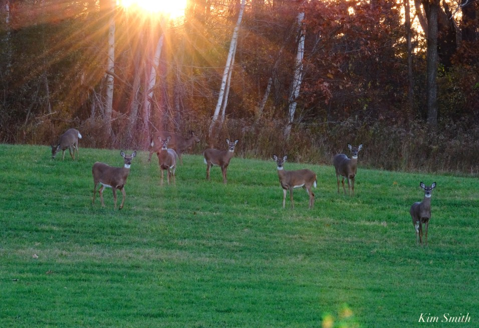 White-tailed Deer Essex County copyright Kim Smith - 5 of 11